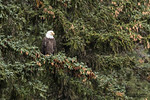 Bald Eagle (Haliaeetus leucocephalus). Bald Eagle is a bird of prey found in North America