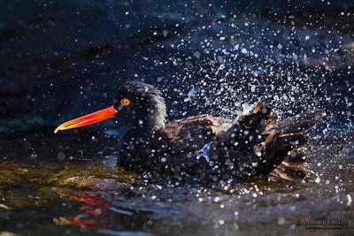 Black Oystercatcher (Haematopus bachmani) splashing at Oregon Coast Aquarium, Newport, Oregon.  Чёрный кулик-сорока