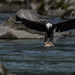 Bald Eagle (Haliaeetus leucocephalus). Bald Eagle is a bird of prey found in North America.